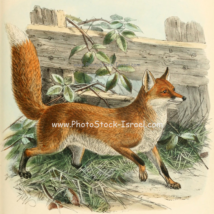 """Red fox or Common Fox (Vulpes vulpes [Here as Canis vulpes]) From the Book Dogs, Jackals, Wolves and Foxes A Monograph of The Canidae [from Latin, canis, """"dog"""") is a biological family of dog-like carnivorans. A member of this family is called a canid] By George Mivart, F.R.S. with woodcuts and 45 coloured plates drawn from nature by J. G. Keulemans and Hand-Coloured. Published by R. H. Porter, London, 1890"""