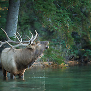 bull elk drinking water in mountain lake
