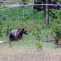 Face Off! Here comes Wolf toward Bear, hoping to reclaim his elk kill. Yellowstone National Park, Wyoming.