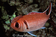 cymothoid isopod, Anilocra sp., attached to head of <br /> blackbar soldierfish, Myripristis jacobus, <br /> relationship is commensal or parasitic<br /> Bahamas ( Western Atlantic Ocean )