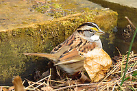 White-throated Sparrow. Backyard Winter Nature in New Jersey. Image taken with a Nikon 1 V2 camera and 600 mm f/4 VR lens (ISO 720, 600 mm, f/4, 1/320 sec).