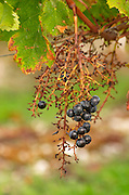 Merlot stalks after mechanical harvest. Chateau Paloumey, Haut Medoc, Bordeaux, France.