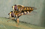 Close-up profile of a pair of hover-flies (Eupeodes corollae) mating on a fence in a Norfolk garden in summer.