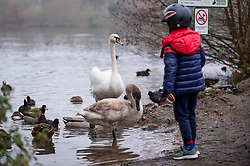 © Licensed to London News Pictures. 29/11/2020. RICKMANSWORTH, UK.  Swans being fed by the public at Rickmansworth Aquadrome in Hertfordshire.  A spate of dying swans have been reported across the UK, suspected to be caused by the H5N8 avian influenza strain, brought in by wild birds migrating across Europe.  The Department for Environment, Food and Rural Affairs (DEFRA) confirmed an HN58 outbreak at a turkey fattening premises near Northallerton on November 28. Outbreaks already confirmed among captive birds in other areas of the country raising fears that poultry might be wiped out this winter.  Photo credit: Stephen Chung/LNP