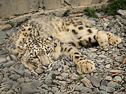 After it fell as a cub in the water, this snow Leopard has been kept in captivity, near Sust village, Gojal.