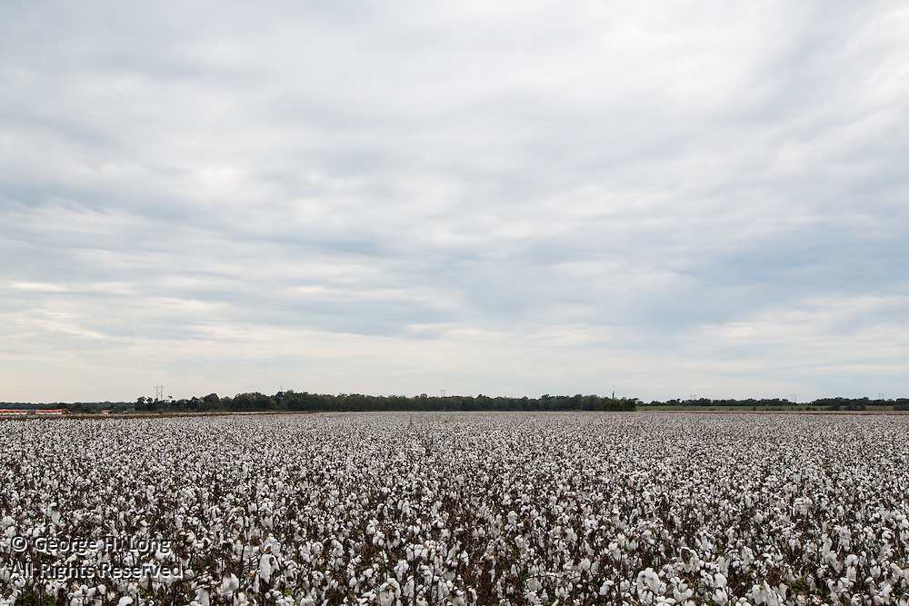 Field of cotton ready for harvest along Highway 1 south of Marksville, Louisiana