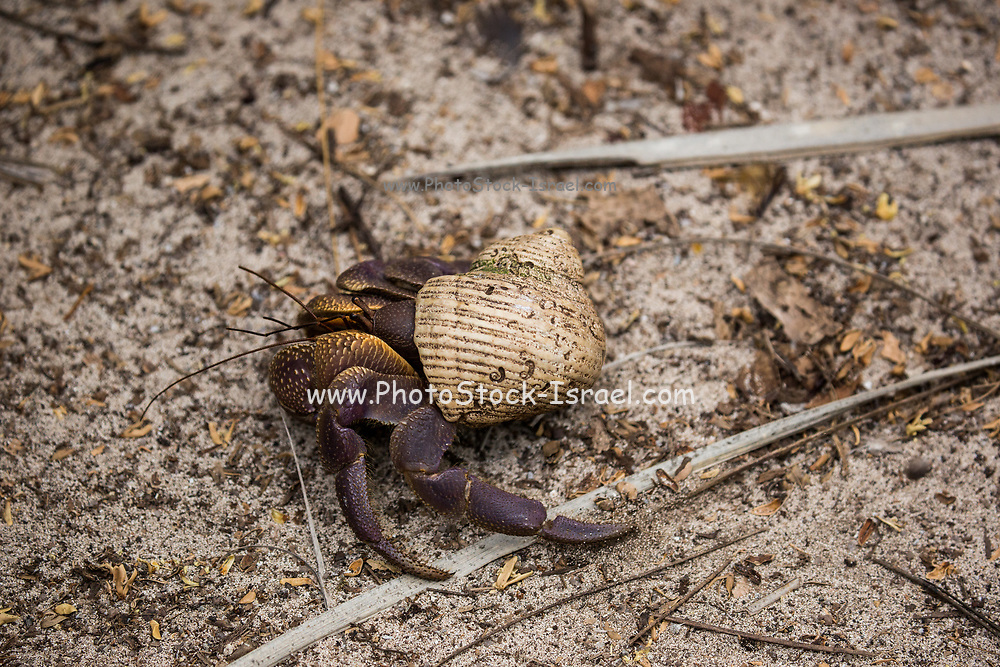Hermit Crab in a shell on the beach. Photographed in Seychelles in October