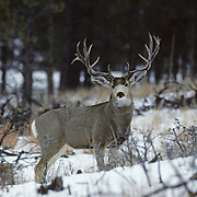 A large  nontypical mule deer buck stands in an open clearing in the Rocky Mountains of Colorado during rut.