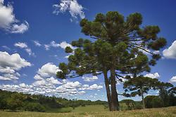 A araucária é a espécie arbórea dominante da floresta ombrófila mista, ocorrendo majoritariamente na região Sul do Brasil, bem como no leste e sul do estado de São Paulo, extremo sul do estado de Minas Gerais, e em pequenos trechos da Argentina e Paraguai, sendo conhecida por muitos nomes populares, entre eles pinheiro-brasileiro e pinheiro-do-paraná. A espécie foi inicialmente descrita como Columbea angustifolia. FOTO: Jefferson Bernardes/Preview.com