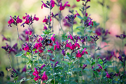 Salvia × jamensis 'Raspberry Royale' syn. S. greggii 'Raspberry Royal' , S. microphylla 'Raspberry Royale'
