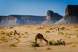 Wild camels wandering in the Moroccan desert.<br /> <br /> (c) Andrew Wilson   Edinburgh Elite media
