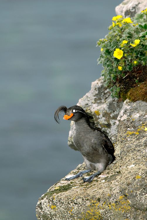 The Crested Auklet (Aethia cristatella) is a numerous seabird at Bering Sea islands. Auklets nest in talus in huge colonies up to millions of birds.