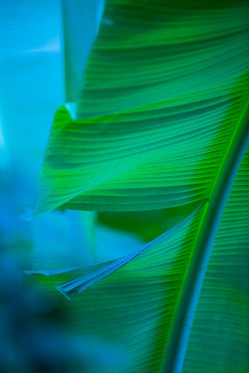 Mai`a, Banana Plantation,  Banana leaf in blue shadows of Koolau Mountains in Kaneohe