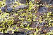 Yellow lichen grows on rock in the Sierra de San Francisco, Baja California Sur, Mexico on January 27, 2009.