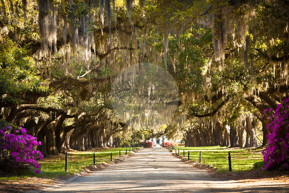 Avenue of the Oaks at Boone Hall Plantation in Charleston, SC.