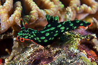 Nembrotha Nudibranch Forgaing..Shot In Indonesia