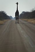 A giraffe stands up in the middle of the road at Etosha National Park, in Namibia, Africa.