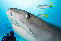 Tiger Shark and Divers<br /> <br /> Shot in Bahamas