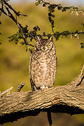The spotted eagle-owl (Bubo africanus) is a medium-sized species of owl, one of the smallest of the eagle owls. Its length is 45 centimetres (18 in) and its weight is from 480 to 850 grams (1.1 to 1.9 lb). It has a 100 to 140 centimetres (39 to 55 in) wingspan. The facial disk is off white to pale ochre and the eyes are yellow. It has prominent ear tufts, and the upper body is dusky brown, the lower parts off-white with brown bars. Prior to 1999 the spotted eagle-owl was considered conspecific with the greyish eagle-owl, but now it is classed as a separate species.