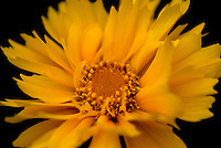 Selective focus close-up of a yellow Coreopsis flower in full bloom.