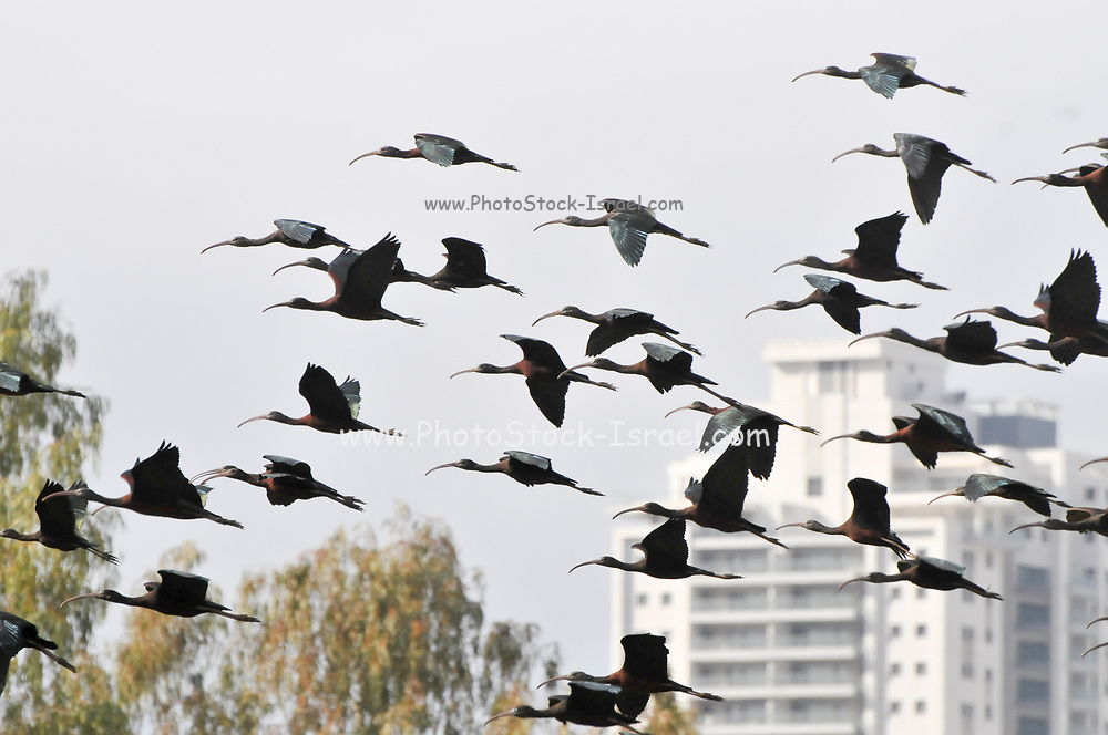 Glossy Ibis (Plegadis falcinellus) in flight. photographed in Israel in February