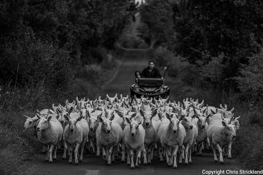 Oxnam, Jedburgh, Scottish Borders, Scotland, UK. 12th September 2021. Cheviot mule gimmers are shepherded along a single track road to fresh grazing near Oxnam village in the Scottish Borders.