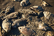 Dead talipia on the coast of the Salton Sea  Imperial Valley, CA. The fish die from lack of oxygen and salt concentrations.
