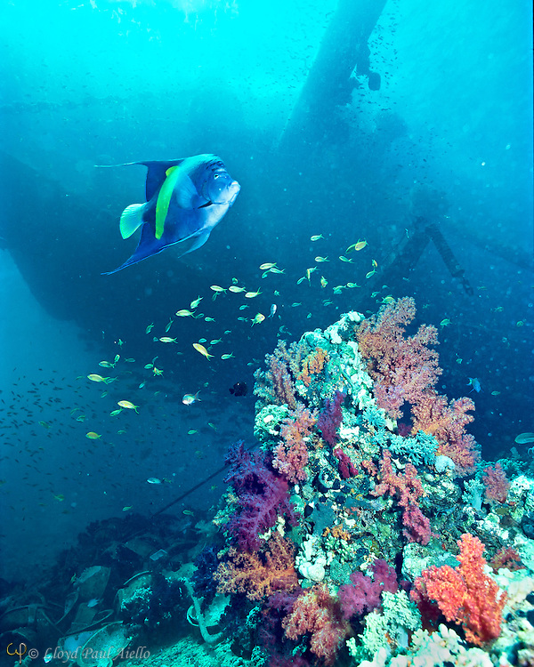 An adult 14-inch Queen Angelfish (Pomacanthus maculosus) glides over a reef outcrop covered in colorful soft corals under the shadow of the shipwreck Jolanda prior to its being lost into the abyss of the Red Sea, Ras Mohammad, Sinai, Egypt in 1985.  The Jolanda was a 72 meter Cypriot merchant ship owned by the Sea Brother Marine Shipping company. During a severe storm on April 1, 1981 the ship hit a southern reef mount at the tip of the Ras Mohammad peninsula where after 4 days she rolled over onto her port side, her bow awash, and her stern hanging over the edge of the reef.  During a storm in 1985 a wire holding the wreck on the reef snapped and the wreck plunged into the abyss, lost until its rediscovery two decades later on May 26, 2005 in 145 - 200 meters of water.  Today the only evidence of its brief shallow water presence are the remains of its cargo of toilets shown in the lower left of the photograph.