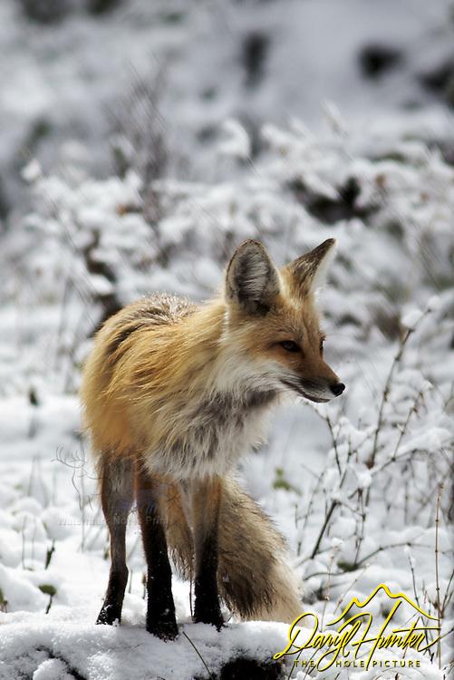 Red Fox, winter