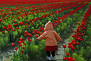 A child explores a tulip field off of Beaver Marsh Road near Mount Vernon. Many families visit the tulips and daffodils in bloom at the Skagit Valley Tulip Festival. (Erika Schultz / The Seattle Times)