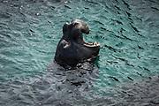 Northern Elephant Seal (Mirounga angustirostris), Piedras Blancas Elephant Seal Rookery, San Simeon, California USA