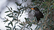 Male Common Blackbird or Eurasian Blackbird (Turdus merula) Perched on a branch. Photographed in Israel in March