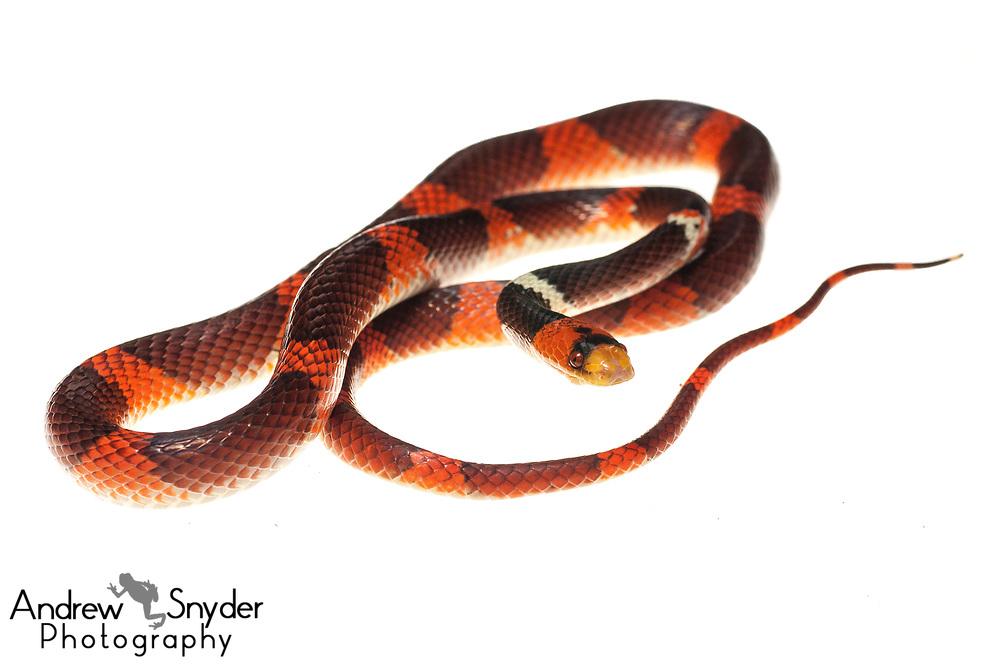 Calico snake, Oxyrhopus occipitalis, Iwokrama, Guyana, July 2013