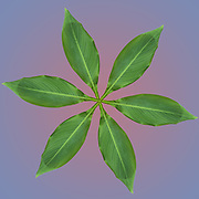 Digitally enhanced image of six leaves arranged in a circular design