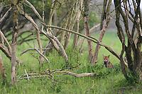 Red fox (Vulpes vulpes) adult in scrub woodland. Oostvaardersplassen, Netherlands. Mission: Oostervaardersplassen, Netherland, June 2009.