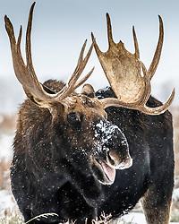 Moose portrait, Grand Teton National Park