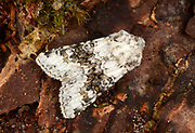 Close-up of a Broad-barred white moth (Hecatera bicolorata) resting on the bark of a tree in a Norfolk garden in summer.