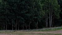 Gmina Krynki, woj. podlaskie, 11.08.2021. W zwiazku z rosnaca z dnia na dzien iloscia migrantow przekraczajacych nielegalnie bialorusko-polska granice, Straz Granicza wzmocnila swoje dzialania na granicy z Republika Bialorus na terenie wojewodztwa podlaskiego. Tylko w  ciagu ostatniego weekendu (6-8.08.2021) zatrzymano 349 osob - glownie Irakijczykow i Afganczykow - usilujacych nielegalnie dostac sie do Polski z Bialorusi. Wg. roznych zrodel, migranci samolotami dostaja sie do Minska, a stamtad sa przewozeni przez bialoruskie sluzby nad granice z Litwa i Polska. Jest to elementem tzw. wojny hybrydowej. N/z zasieki z drutu kolczastego na granicy polsko-bialoruskiej fot Michal Kosc / AGENCJA WSCHOD