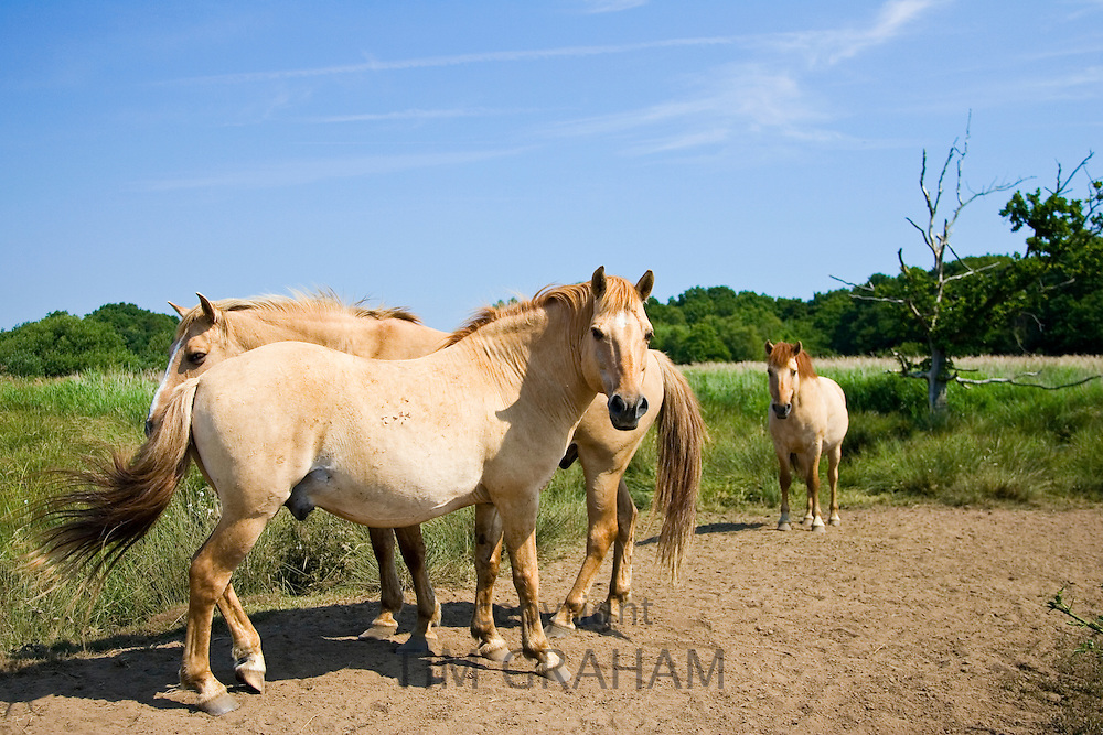 Norfolk Wildlife Trust Konik ponies at Hickling, United Kingdom