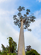 The crown of the giant tree Koompassia excelsa (also known as Tualang or Mengaris) from Tabin, Sabah, Borneo.