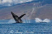 humpback whale, Megaptera novaeangliae, breaching as calf splashes down after a breach; windmills in background produce renewable energy; Maui, Hawaii, Hawaii Humpback Whale National Marine Sanctuary, USA ( Central Pacific Ocean )