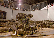 SWEETWATER, TX - MARCH 14: A western diamondback rattlesnake ready to strike in the snake pit during the 51st Annual Sweetwater Texas Rattlesnake Round-Up, March 14, 2009 in Sweetwater, Texas. Approximately 24,000 pounds of rattlesnakes will be collected, milked for venom and the meat served to support charity. (Photo by Richard Ellis)