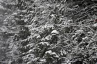 Puszcza Knyszynska, 25.01.2021. Obfite opady sniegu i znaczy spadek temperatury na Podlasiu. N/z osniezone drzewa w Puszczy Knyszynskiej fot Michal Kosc / AGENCJA WSCHOD