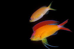 This pair of Indian Flame Basslets, Pseudanthias ignitus, are courting in mid-water, as they often do at dusk.  The female, above, pales in comparison to the vividly colored male, which displays its most brilliant coloration during such mating rituals.  The pair mated moments after this photo was taken, releasing eggs and sperm into the water column, to be taken wherever the current carried them.  Similan Islands Marine National Park, Andaman Sea, Thailand