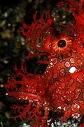 Weedy Scorpionfish, Rhinopias frondosa, An ambush predator that feeds on small fish and shrimp, Colour and body shape help camouflage with its environment., Aquarium Photo