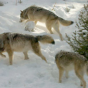 Gray wolf (Canis lupus) Pack of wolves in snow capped forest. Montana. Winter.  Captive Animal.