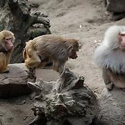 NLD/Amersfoort/20120518 - Persconferentie Jane Goodall, apen