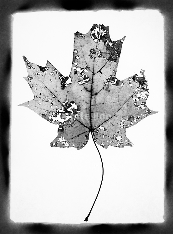 A pressed leaf against a white background.