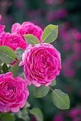 Rosa Noble Antony = 'Ausway'