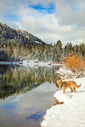 """""""Golden Retriever in Autumn 4"""" - Photograph of a Golden Retriever dog along the shoreline of Coldstream Pond (also known as Donner Pond) near Donner Lake in Truckee, California."""